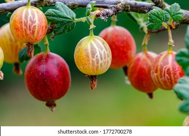Ripe gooseberries berries on a branch. Red berry with green leaves in garden, closeup