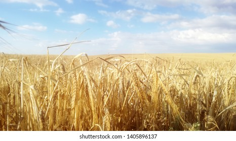 Ripe grain. Cereals to the horizon. Summer agricultural landscape of the community of Castile and Leon, Spain. Contrast of yellow and blue natural colors of the calm sky. Rural environment.