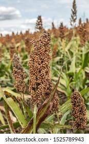 Ripe Grain Sorghum (Milo) in a Field
