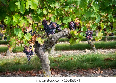 Grape Tree Images, Stock Photos & Vectors | Shutterstock