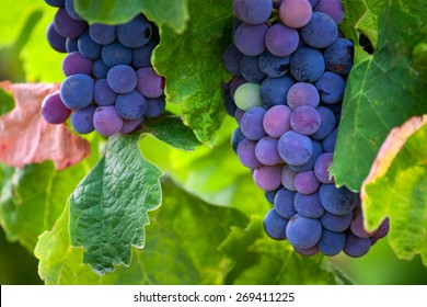 Ripe grapes in autumn, France