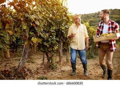 Ripe grapes in the autumn vineyard- family vineyard