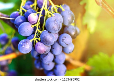 ripe grapes. A bunch of grapes in the garden. Wine-making and juices. Selective