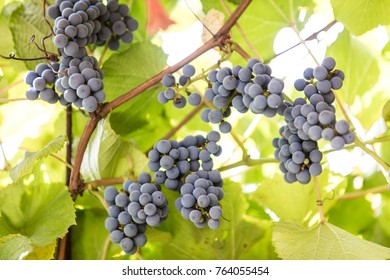 Ripe grapes in fall