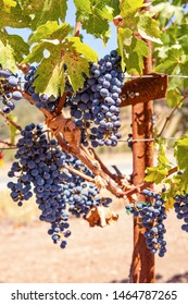 Ripe grapes hanging on grapevines in Napa, California