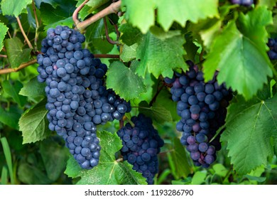 Ripe grapes at harvest. Vineyard in sunny summer day.