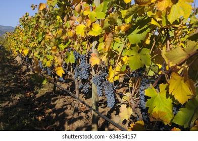 ripe grapes in modern irrigation vines vineyard