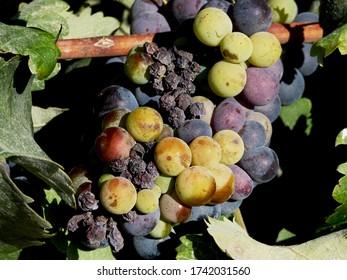ripe grapes for unique  vine on plantation Santorini island Greece. Grape for vinsanto.