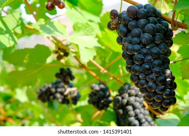Ripe grapes in a vineyard, France.