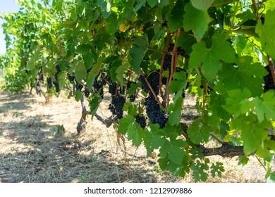 Ripe grapes in a vineyard, grape harvest concept