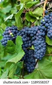 Ripe grapes at vineyard in harvest.