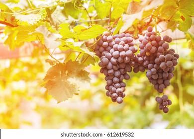 Ripe grapes in the vineyard,in the autumn season