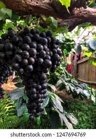 ripe graps on vineyards of grap trees