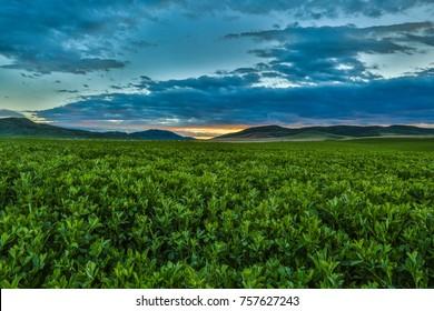 Ripe green alfalfa field under a beautiful blue cloudy sunset sky