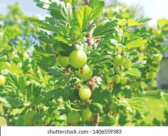 Ripe green gooseberries hanging at the gooseberry bush. Juicy gooseberry detailed in the sunlight in spring day on the green garden. Green background or wallpaper.
