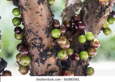 ripe and green jabuticaba fruit  on tree