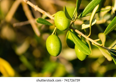 Ripe green olives on the tree, Provence, France