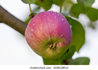ripe green, pink apple with raindrops on a tree branch