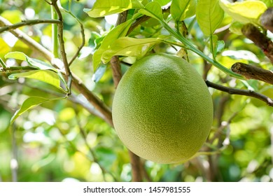Ripe green pomelo hanging on branch, tropical pomelo tree, citrus fruit