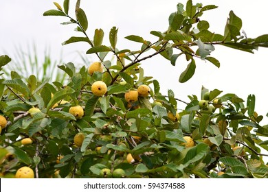 Guava Tree Stock Photos, Images & Photography | Shutterstock
