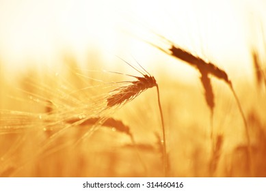 Ripe Hard Red Wheat in the Morning Sunlight
