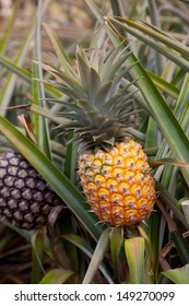 ripe Hawaii pineapple on pineapple plant found in plantation field