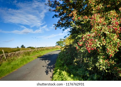 Ripe hawthorn berries, Crataegus monogyna, and leaves in late summer, Yorkshire Dales, England, Uk.