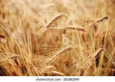 Ripe Heads of Organic Hard Red Wheat