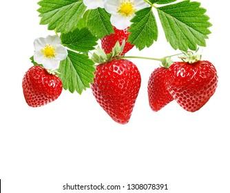 ripe healthy garden strawberries