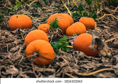 Ripe hokkaidos on a pumpkin patch await harvest and decorations for Halloween
