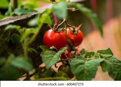 Ripe home grown tomatoes
