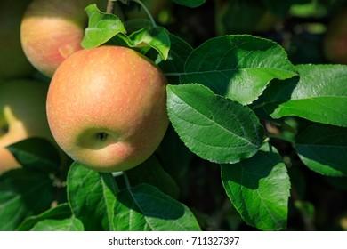 Ripe honeycrisp apple growing on tree in orchard.