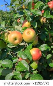 Ripe honeycrisp apples growing on a tree branch on farm in Virginia.