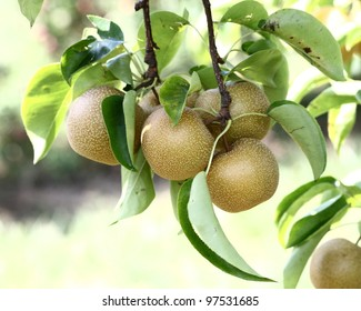 Ripe 'Hosui' Asian pears on the tree, in central Connecticut