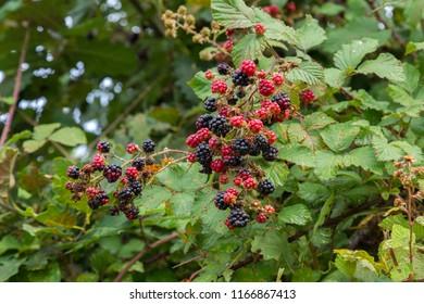 ripe and immature blackberries on blackberry vines