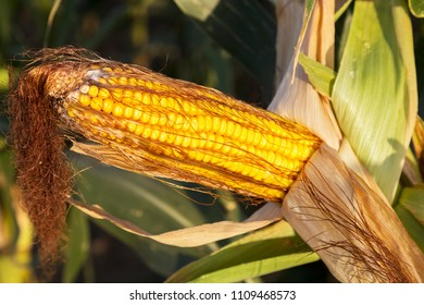Ripe indian corn. The corncob is depicted in a close-up photograph.