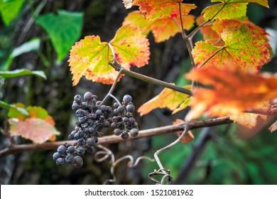 Ripe Isabella grapes (vitis labrusca) in autumn, Azerbaijan
