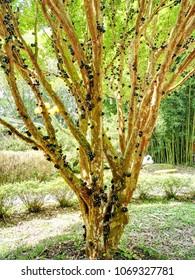 Ripe jabuticaba fruit on tree.