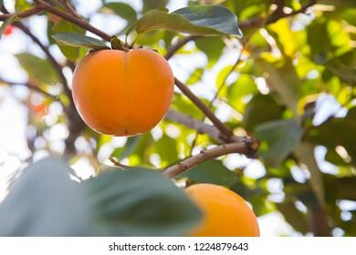 Ripe Japanese persimmon kaki fruits on a tree. Autumn seasonal organic fruit