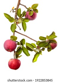 ripe juicy apples on a branch on a white background
