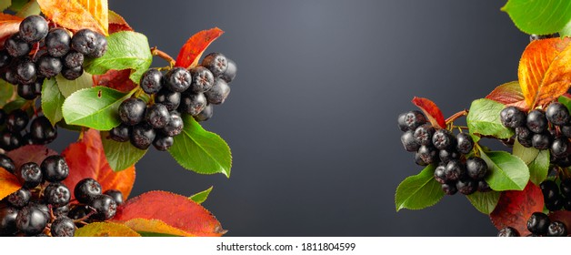 Ripe juicy berries black chokeberry with colorful leaves. Autumn concept. Copy space for your text.