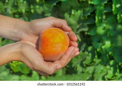 Ripe juicy peach in the woman's hands on the background of green garden