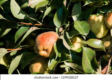 Ripe juicy pears are hanging on the tree among the green foliage
