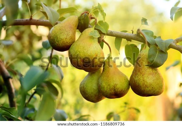 Ripe juicy pears on tree branch in garden