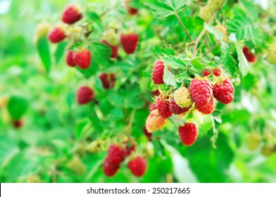 Ripe juicy raspberry on a green bush. Red raspberry on a green background.