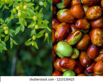 Ripe jujube and green berries on branches (jujube real, Chinese date, capiinit, jojoba, lat. In the process jujuba). Heart protection