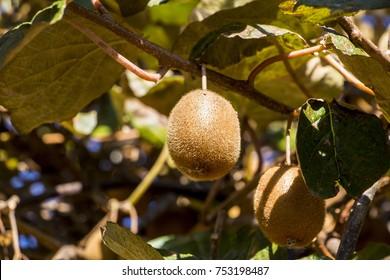 Ripe kiwi fruit growing on a tree