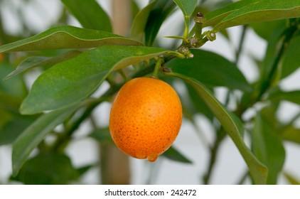 A ripe kumquat