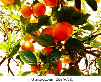 Ripe Kumquats on the tree - smaller than oranges, they can be a challenge to eat with their sour flesh but sweet rind. Kumquats are popular for cooking