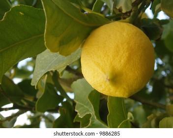 Ripe lemon growing on lemon tree